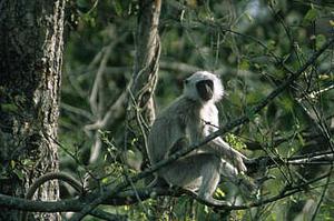 Nepal Monkey Annapurna Circuit Trek