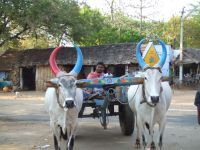 Cycle India 15 days ox cart