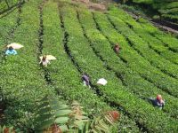 Cycle India 15 days tea plantation