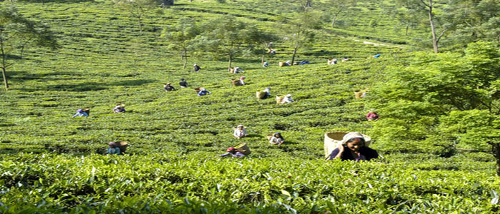 Darjeeling 8 days tea plantation