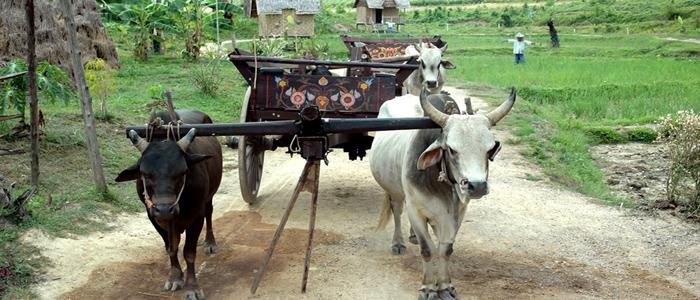 Buffallos Cambodia