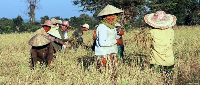 Working on Rice Field Cambodia