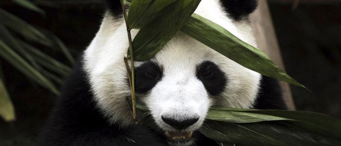 panda Sichuan China