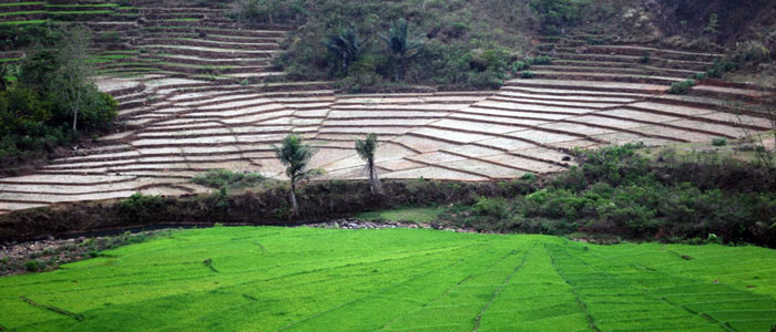 Flores Rice Terraces