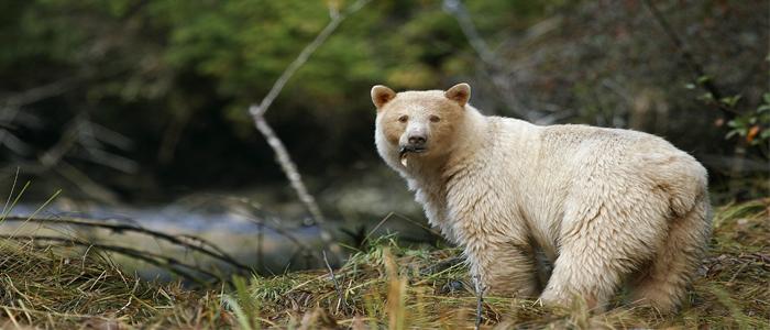 Discover Spirit Bear
