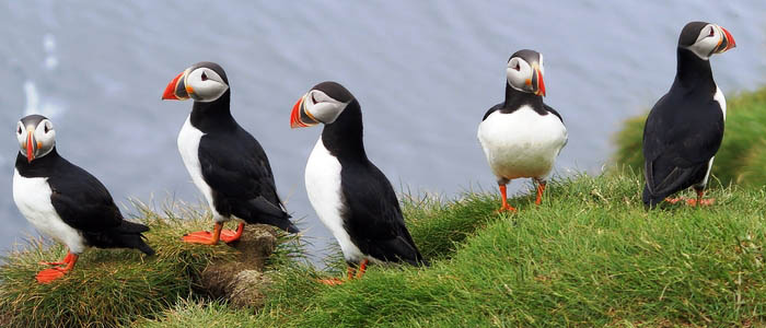 Best of South Iceland Tour puffins