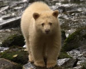 Discover Spirit Bear spirit bear
