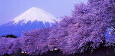 Beautiful_cherry_blossoms_with_snow-capped_Mount_Fuji_in_evening-232