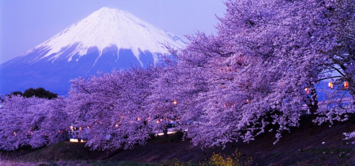 Beautiful_cherry_blossoms_with_snow-capped_Mount_Fuji_in_evening