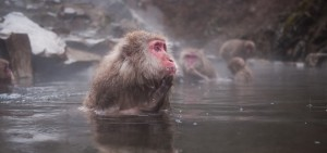 snow_monkey_dip_itself_in_hotspring_of_jigokudani_shibu960