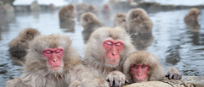 Across the roof of Japan snow monkeys