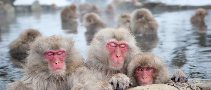 Across the roof of Japan snow monkeys