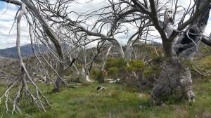 Wonderful Jagungal trees