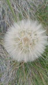 looks like a giant dandelion!